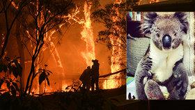 Popálené kožichy, roztavené drápy: Trpícím koalům pomáhají v provizorních nemocnicích