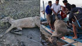 Koně uvěznil sopečný popel. Při jejich záchraně Filipínci neváhají riskovat život