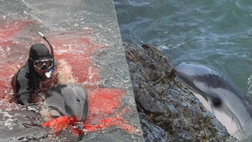 """Masakr jen pro silné povahy: Rybáři zaženou delfíny do """"zátoky smrti"""""""