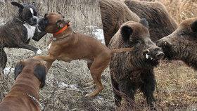 Nemoc divokých prasat ohrožuje psy. Je vždycky smrtelná, varují experti