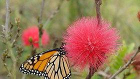 """Podivuhodná rostlina vykvetla v botanické zahradě! Na """"prachové víle"""" si smlsnou motýli i netopýři"""