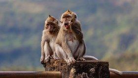 Agresivní opice okupují celou vesnici. Lidé našli netradiční způsob, jak je zaplašit