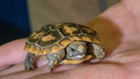 V Zoo Praha se vyklubala letošní první želva skalní: Chovatelé si »upekli« holku