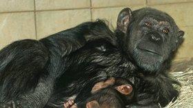 Mládě desetiletí v plzeňské zoo: Šimpanzí holčička Caila se mámy drží jako klíště