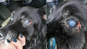 Slepého Vikiho z Přimdy zachránili před smrtí: Zraněný ležel bezvládně v trávě