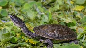 Už natahují krk před návštěvníky! Pražská zoo vypiplala vzácné sladkovodní želvy