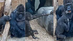 VIDEO: Škádlení goril v Zoo Praha: Takhle nejmladší Ajabu provokuje tátu Richarda!