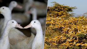 Invazi kobylek mají zastavit čínské kachny. Jsou účinnější než pesticidy