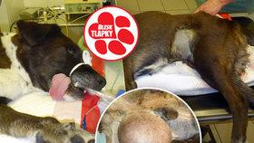 Vyhodil psa s obřím nádorem na ulici: Pražští strážníci a veterináři dali Valdovi druhý život