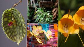 Na orchideje s lupou: V Botanické zahradě vystavují vzácné a drahé miniaturní rostliny