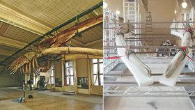 Plejtváku myšokovi se dívají na zoubek: Národní muzeum restauruje kostru, nejpoškozenější jsou čelisti