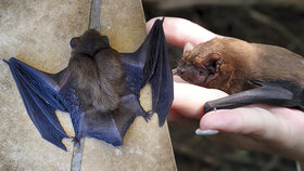 Nemocí covid-19 to nekončí? Vědci objevili šest nových druhů viru u netopýrů v Barmě