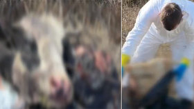Myslivec na procházce našel tlející hlavy a vnitřnosti: Neznámý pachatel je odhodil do křoví!