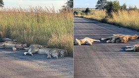Zvířata si užívají klidu bez turistů. Lvi v národním parku spí i na silnicích