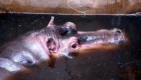 Zoo v Evropě už nechtějí hrochy! Mláďata jsou krmením! V Ostravě v hrošátko doufají