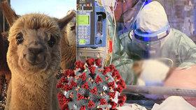 Vědci vyvíjejí lék na covid-19 z lamí krve: Zvíře má proti viru protilátky!