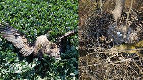 Ornitologové zuří: Další orel mořský se otrávil zakázaným pesticidem