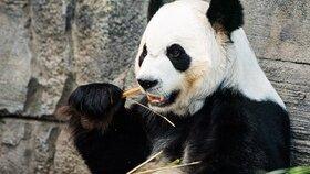 Pandy dostávaly nechutný bambus. Kanadská ZOO vrátí vystresované šelmy předčasně do Číny