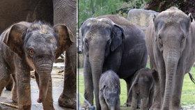 Dobrodružství v Údolí slonů v Zoo Praha! Mladší samička si schrupla, starší hrabala v trávě