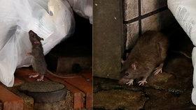 Potkani jsou kvůli koronaviru agresivnější a nebezpečnější, varují úřady. Hejna se uchylují ke kanibalismu