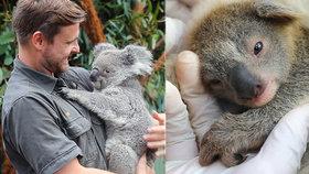 """""""Popel"""" jako naděje: V australské zoo se narodilo první koalí mládě po požárech hrůzy"""