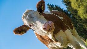 """""""Neakceptovatelné."""" Čeští zemědělci bouří kvůli návrhu EU, bez masa bude větší sucho"""