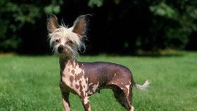 Velká fotogalerie psů pro alergiky: Vyberete si naháče, nebo plemeno, které nelíná?