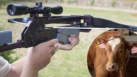 Surovec vyzbrojený kuší postřelil býčka do hlavy! Co mu hrozí?