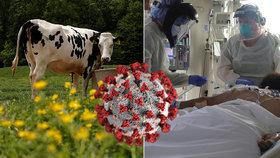 Krávy jako klíč k léku na koronavirus. Testy startují na geneticky upravených zvířatech