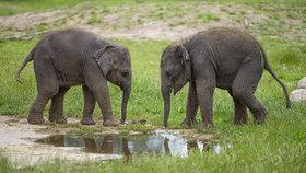 Amalee a Lakuna! Chovatelé pražské zoo pokřtili nedávno narozené sloní holčičky