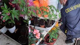 Celníci se nestačili divit: Na Děčínsku se prodávala marihuana v květináčích