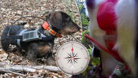 Jezevčík s GPS odhalil kouzlo psí navigace. Hafani mají díky Zemi mapu v hlavě