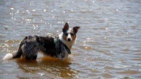 Terapeutický pes stáhl vozíčkářku do jezera: Ženu stěží zachránili, zvíře nepřežilo