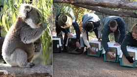 Dojemné koalí video: Parta medvídků se i s novým mládětem vrátila po požárech do přírody