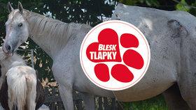 Týraným koním zChomoutova se daří lépe. Kpůvodní majitelce se už nevrátí