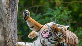 Velká pruhovaná párty v pražské zoo! Tygři oslaví svůj mezinárodní den, návštěvníky čekají soutěže