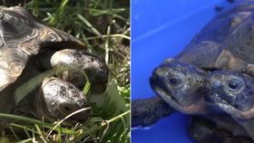 Raritní dvouhlavá želva slaví 23. narozeniny! Janus se měla dožít jen pár let