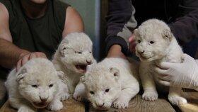 Velká událost v Zoo Hodonín: Narodila se tu vzácná lví čtyřčata! Po rodičích jsou bílá