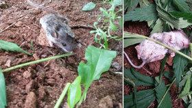 Tráva myšce pořádně zamotala hlavu: Zvědavý hlodavec ochutnal konopí, dva dny o sobě nevěděl!