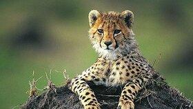 Věděli jste, že gepardi mají tak ohebnou páteř, že připomíná pružinu?