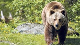 Medvěd hnědý může vážit až 800 kilo
