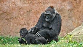 Kamba o své první mládě v minulosti přišla