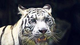 Chov bílých tygrů v liberecké zoo je na ústupu. Je pravděpodobné, že za několik let nebude mít zahrada už ani jednu šelmu s tímto nepřirozeným zbarvením.