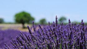 Levandule je popisována jako bylinka, která dokáže navodit klid. Zda má i negativní účinky, panuje neshoda.