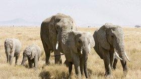 Ačkoliv obchod se slonovinou je od roku 1989 prakticky zakázán, černý trh kvete jako nikdy předtím. Kly slona afrického jsou žádané především v bohatnoucí Asii, kam jich drtivá většina směřuje. Za kilogram může pašerák získat až 50 800 korun.