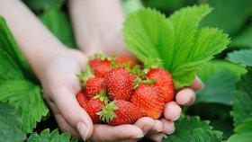 Při sběru jahod si vytipujte nejlepší jahodníky.