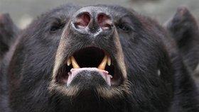 V Rumunsku se v poslední době množí případy nepříjemných zážitků turistů s medvědy.