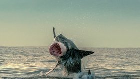 Žralok se ohání po tuleňovi, ale ten uniká.