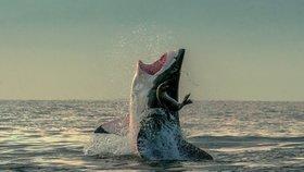 Tuleň unikl žralokovi jen o pár centimetrů.