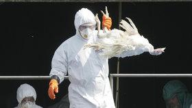 Ptačí chřipka (ilustrační foto)